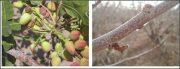 هشدار جهاد کشاورزی در رابطه با آفت پروانه چوب خوار پسته در راور