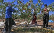 پیشبینی برداشت حدود ۱۰۰۰ تن پسته از باغات شهرستان راور