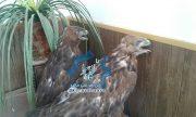 """کشف دو پرنده شکاری """"سارگپه"""" از یک متخلف در شهرستان راور+جزئیات"""