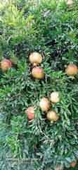تصاویری از باغات انار روستای شریف آباد راور