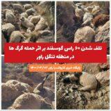 تلف شدن ۶۰ راس گوسفند بر اثر حمله گرگها در منطقه تنگل راور