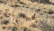 دستگیری متخلف شکار یک راس قوچ وحشی در راور